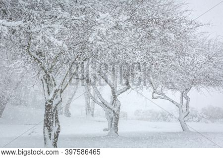 Three Snow Covered Trees With Heavy Falling Snow Shower