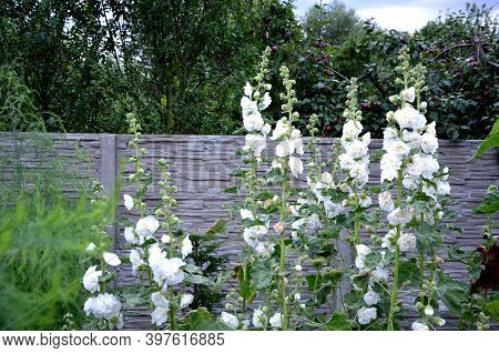Is A Full-blown Hollyhock With Medium-sized Flowers With A Diameter Of About 10 Cm. They Are Pure Wh