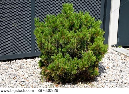 Kneeling Pine, Is A Coniferous Tree Of Cage, Sparsely Bushy, Without A Main Root. It Grows To A Heig