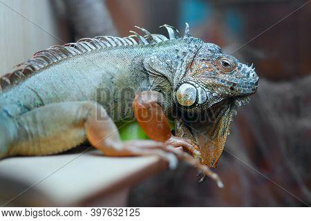 A Green Iguana Rests Under A Lamp In A Terrarium. Iguana Iguana, American Iguana. Front View