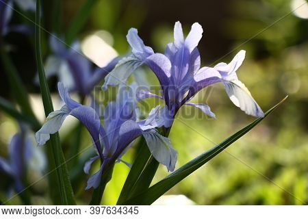 Gentle Blue Juno Flowers On Green Stalks With Green Leaves.