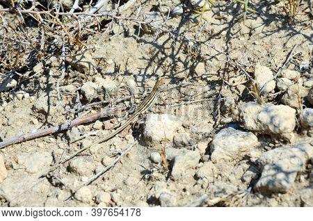 Single Lizard Sunbathing In Rock Crevices. One Sunbathing Lizard During A Summer Day.