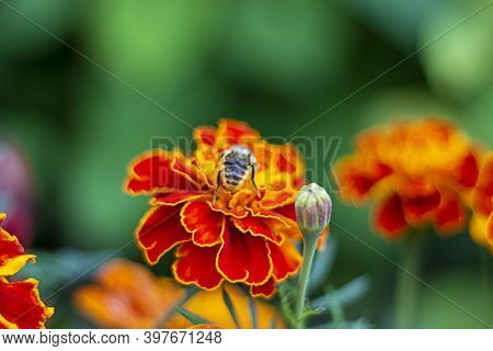 Close Up Beautiful Marigold Flower Tagetes Erecta, Mexican, Aztec Or French Marigold With A Summer B