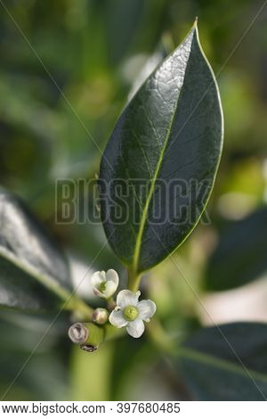 Holly Alaska Flowers - Latin Name - Ilex Aquifolium Alaska
