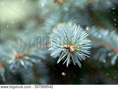 Winter Pine Branch.christmas Card.