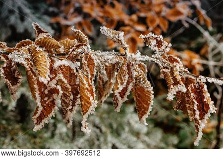Brown Frozen Leaves Background Symbolizing Cold Winter Mornings.the First Frosts And Frozen Leaves.
