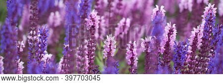 Delicate Beautiful Pink And Blue Flowers Of Sage Blooming In A Field Or Lawn On A Sunny Summer Day,