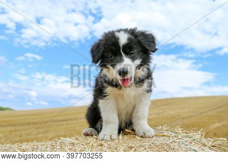 A Portrait Picture Of A Cute Puppy Of Border Collie On A Hay Bale. He Is Looking Happy And Satisfied