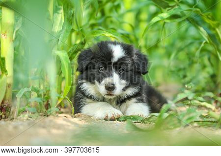 A Portrait Picture Of A Cute Puppy Of Border Collie. He Is Looking Happy And Satisfied. Like It Is S