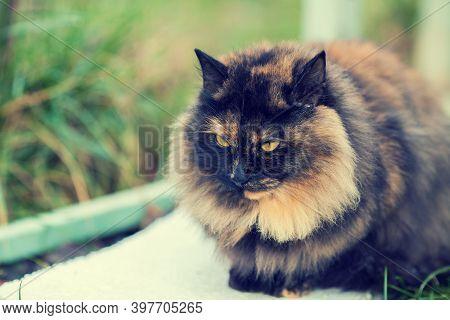 Portrait Of Calico Cat Outdoor In Autumn