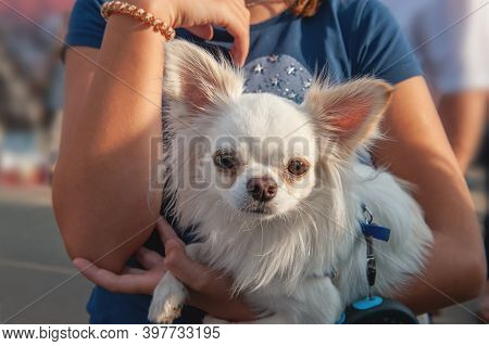 Small Chihuahua Puppy Sits In The Arms Of The Owner. Chihuahua Is A Breed Of Miniature Indoor Dogs.