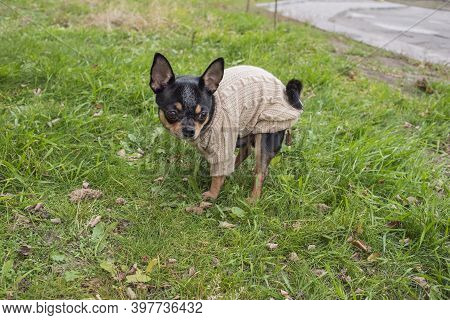 Little Chihuahua In The Park. Chihuahua Dog For A Walk. Chihuahua Goes To The Toilet On The Street