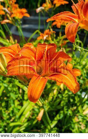Summer Orange Daylily Flowers Detail Closeup Daytime