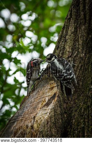Small North American Male And Female Downy Woodpecker On Tree