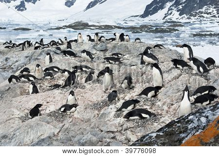 Colony Of Adelie Penguins.