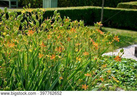 Belamcanda Chinensis 'freckle Face' Is A Beautiful Plant Of Bizarre Shape, The Original Species. It