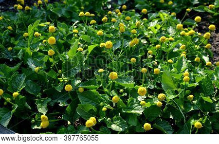 Known For Sore Throat. It Is Commonly Grown Behind Windows Like A Balcony Annual Because It Is Beaut