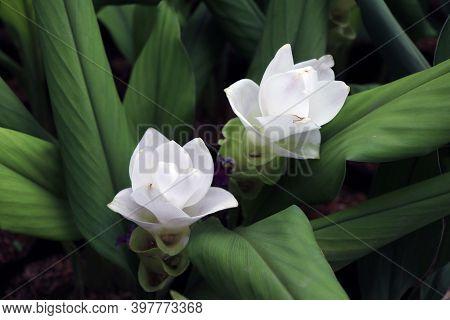 White Siam Tulip On The Nursery Plants. Curcuma Alismatifolia Or Summer Tulip Is A Tropical Plant Na