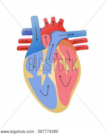 Cardiovascular System Pathway Of Blood Flow In The Heart White Isolated Background Flat Style