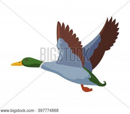 Flying Wild Mallard Duck Flat Style Vector Illustration