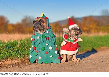 Funny Adult And Puppy French Bulldog Dogs Dressed Up With Christmas Tree And Santa Costumes
