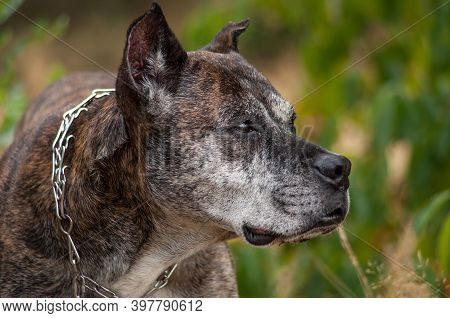 Large Dog With A Menacing Face With A Chain On The