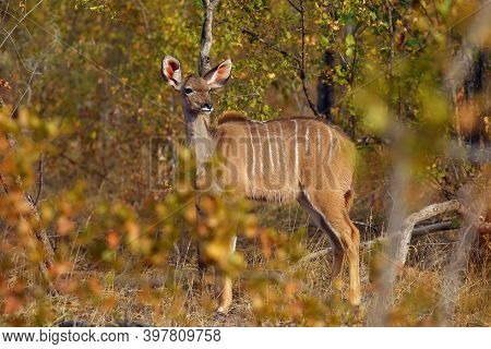 The Greater Kudu (tragelaphus Strepsiceros), A Young Antelope Hides In The Autumn Bush. A Young Fema
