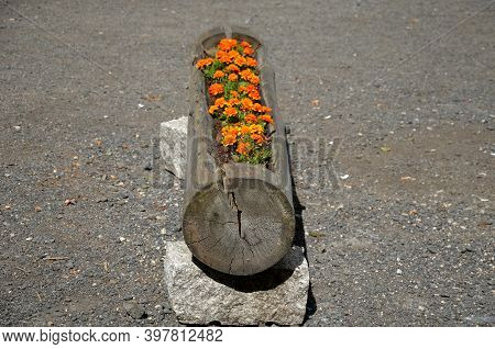 Flowerpot With Orange Flowers Annuals From Carved Spruce Logs. The Hollow Trunk Lined With Stones Se