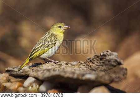 Village Weaver Standing On A Log With Natural Background In Kruger National Park, South Africa ; Spe