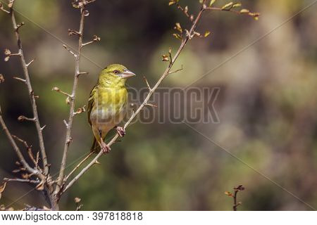Village Weaver Standing On A Shrub In Front View In Kruger National Park, South Africa ; Specie Ploc