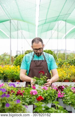 Serious Gardener In Apron Growing Geraniums In Greenhouse. Professional Garden Worker In Glasses Tak