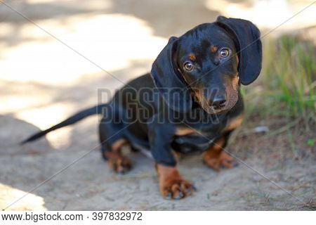 Black And Brown Dachshund Sitting On Street