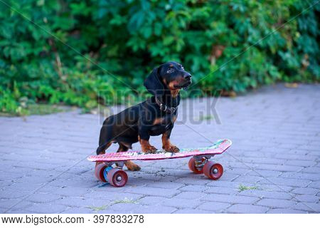 Joyful Dog Dachshund, Black And Tan, Riding A Skateboard On The Street