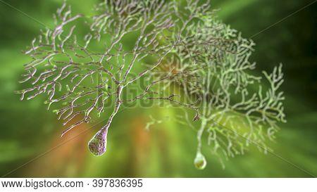 Purkinje Neurons, Gabaergic Neuron Located In The Cerebellum, 3d Illustration