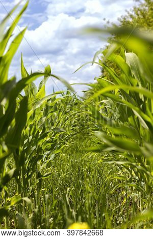 Cornfield Perspective On Blue Sky Background With Clouds Landscape Agriculture