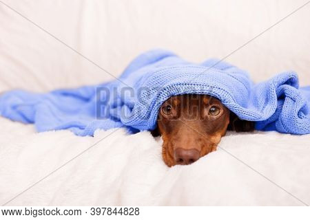 Dog Sleeps Under The Blue Blanket Near Christmas Light. Close Up. Winter Or Dog Fears Concept. Canin