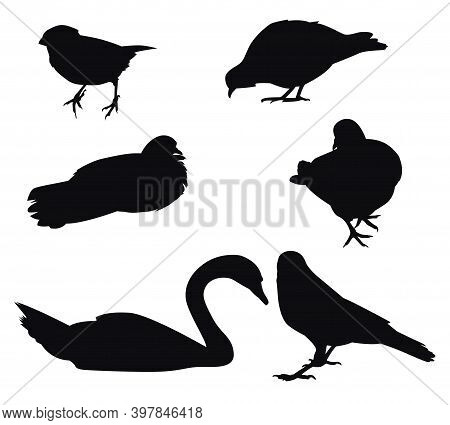 Set Of Silhouettes Of Urban Birds Sparrow, Dove, Crow And Swan. Vector Illustration