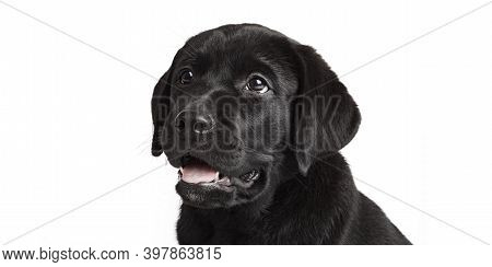 Newfoundland Puppy Dog Isolated On White Background Looking Away From Camera