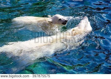 View Of Two Polar Bears, Cub With Its Mother, While Swimming, Ursus Maritimus