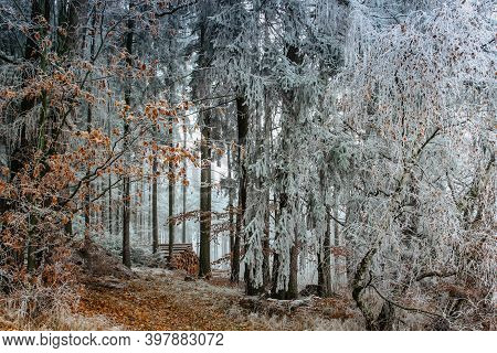 First Fresh Snow In December. Beautiful Snowy Trees. Cold Winter Day In Countryside. Forest Path Wit