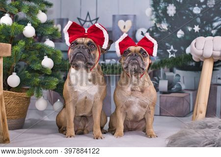 Pair Of French Bulldog Dogs Dressed Up With Festive Red Ribbons On Heads Sitting Between Christmas T