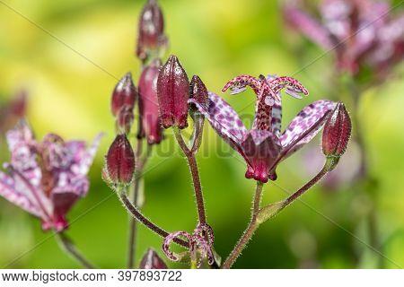 Toad Lily (tricyrtis Hirta) Flower