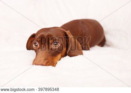 Dog Lying On The Couch. Close Up. Winter Or Dog Fears Concept. Canine Background