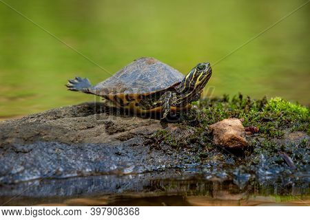 A Juvenile Eastern River Cooter (pseudemys Concinna Concinna) Stretches Out In The Sun. Raleigh, Nor