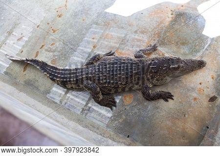 Crocodile Farm And Zoo. Crocodile Farm In Thailand.
