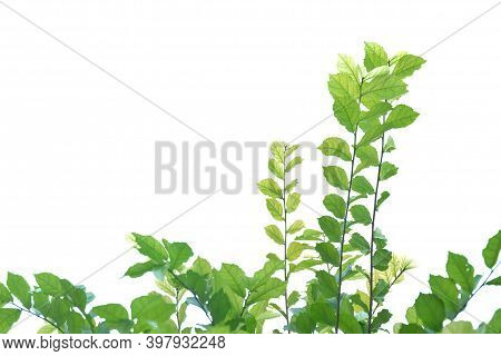 Tropical Plant Leaves With Branches On White Isolated Background For Green Foliage Backdrop And Copy