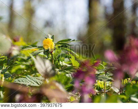 Yellow Wood Anemone (anemonoides Ranunculoides) Blooming In Spring Forest On Sunny Day