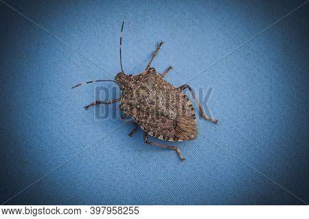 Brown Marble Stink Bug On A Blue Background, Halyomorpha Halys