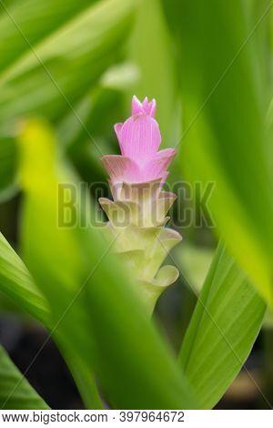 Siam Tulip Or Cercuma Alismatifolia Gagnep In The Garden