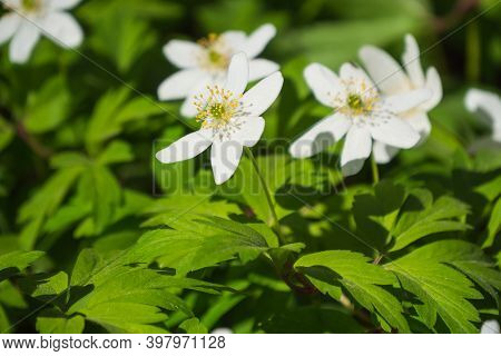 White Windflowers Or Anemone Nemorosa Snowdrop Anemone In A Green Background.